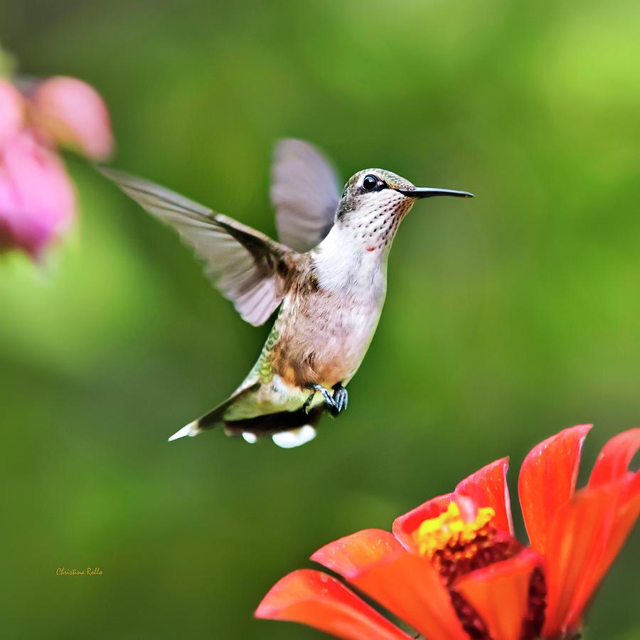 Shimmering Breeze Hummingbird Square Photograph