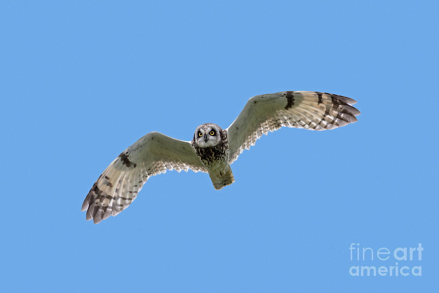 Short Eared Owl by Arterra Picture Library