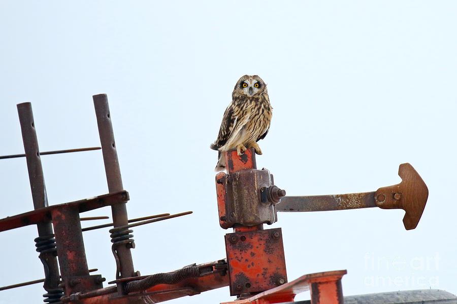 Short Eared Owl Farming Photograph