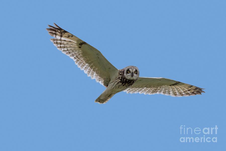 Short-eared Owl in Flight by Arterra Picture Library