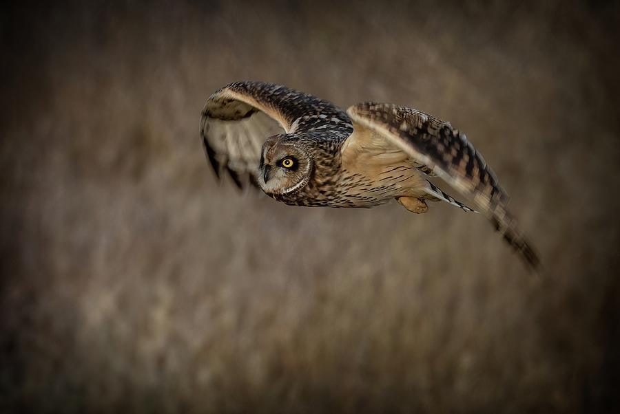 Short-eared Owl in Flight Photograph by Sheldon Bilsker