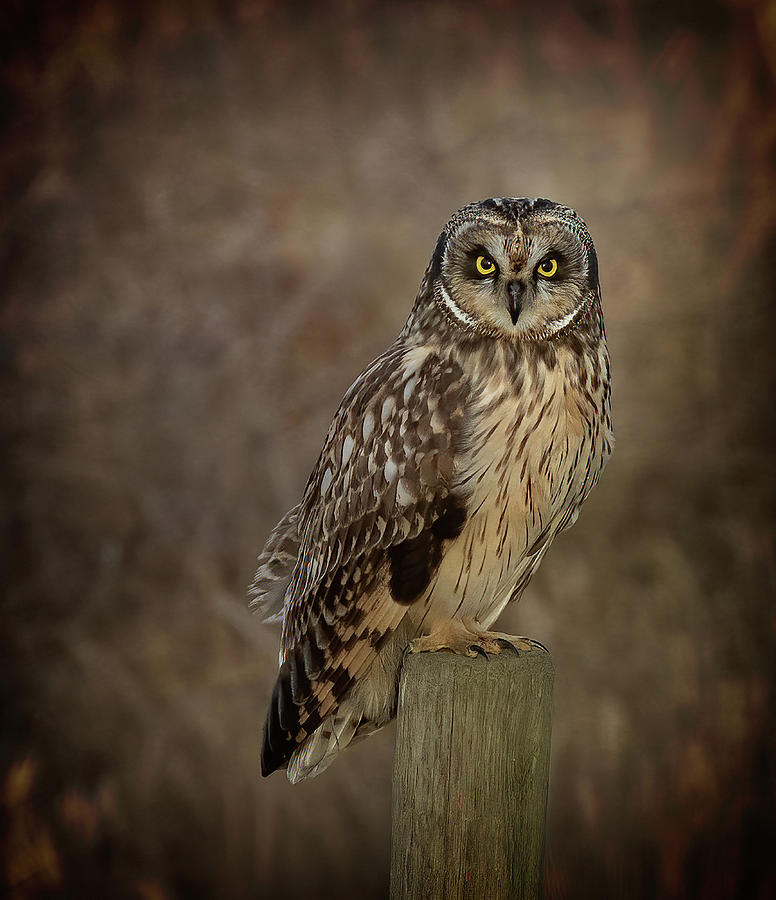 Short-eared Owl Photograph - Short-eared Owl Portrait by Sheldon Bilsker