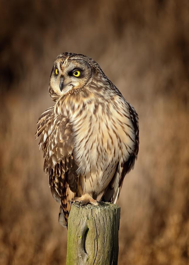 Short-eared Owl Photograph - Short-eared Owl Turn by Sheldon Bilsker
