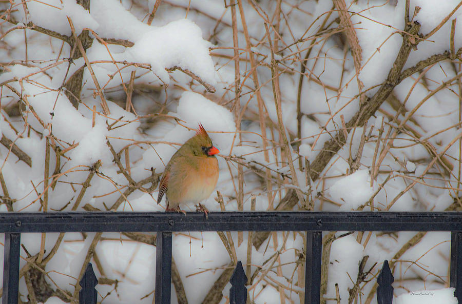 Showy Female Cardinal by Diane Lindon Coy
