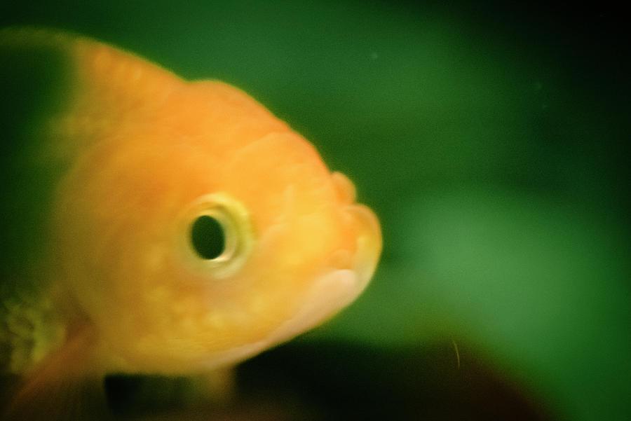 Shrinking Lionhead Goldfish Photograph By Thitiwut Thitiprasert
