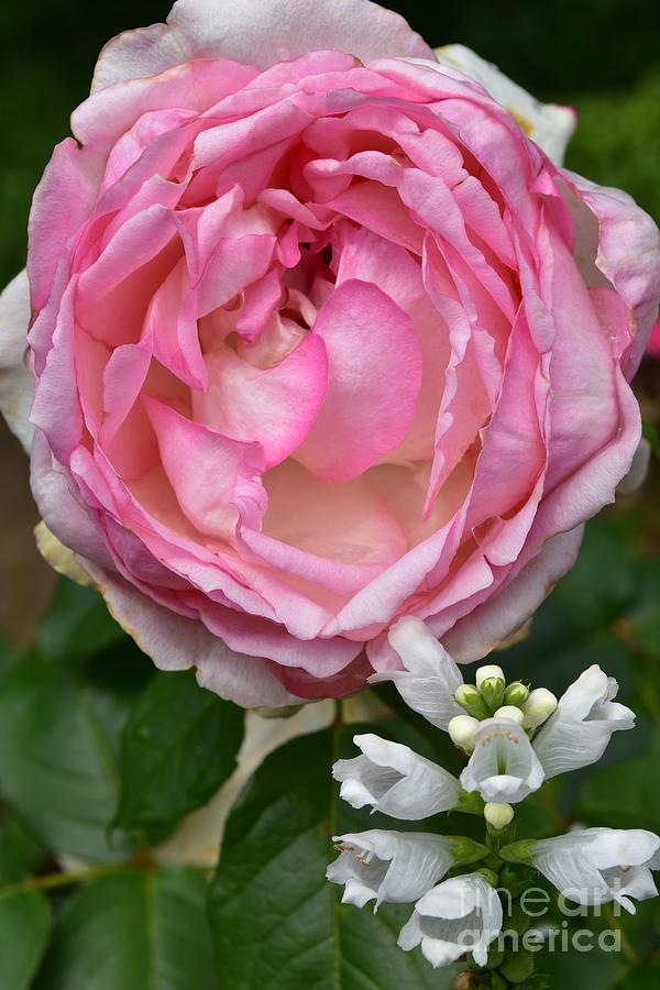 Shrub Rose and Physostegia by Yvonne Johnstone