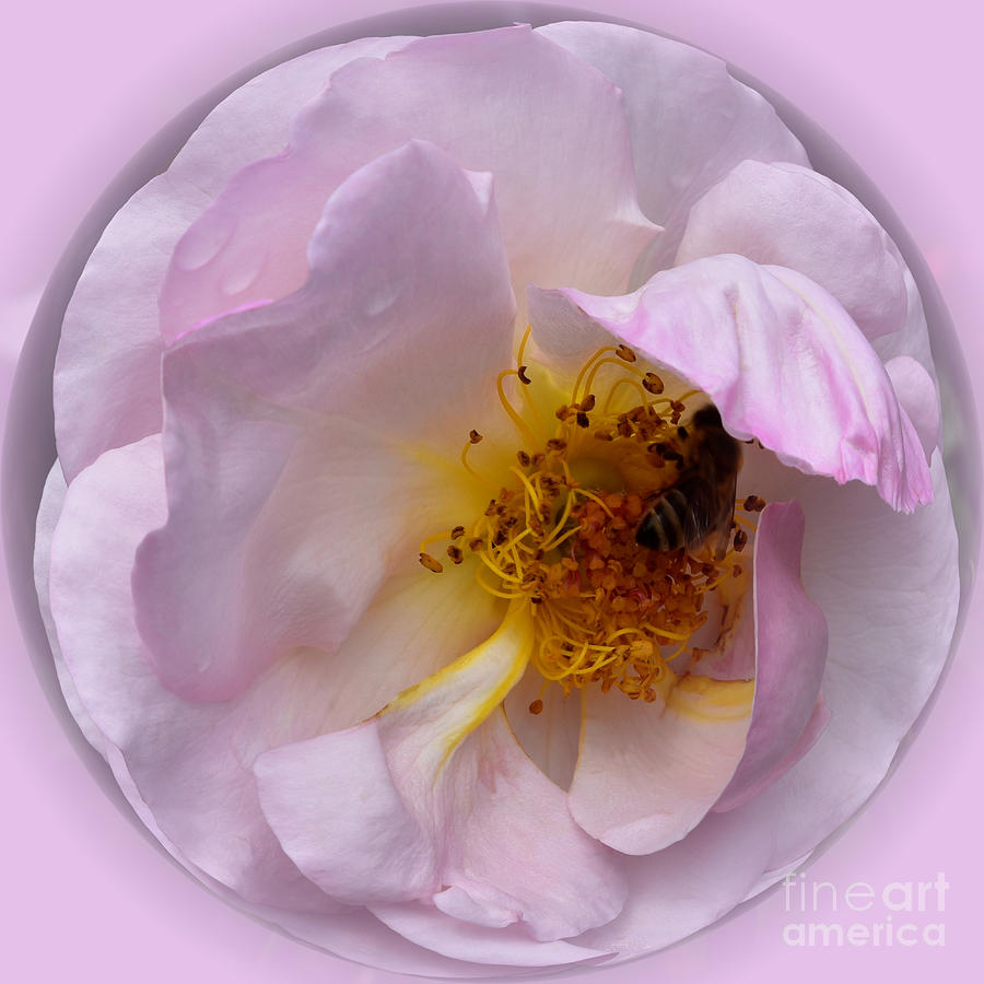 Shrub Rose with Bee by Yvonne Johnstone