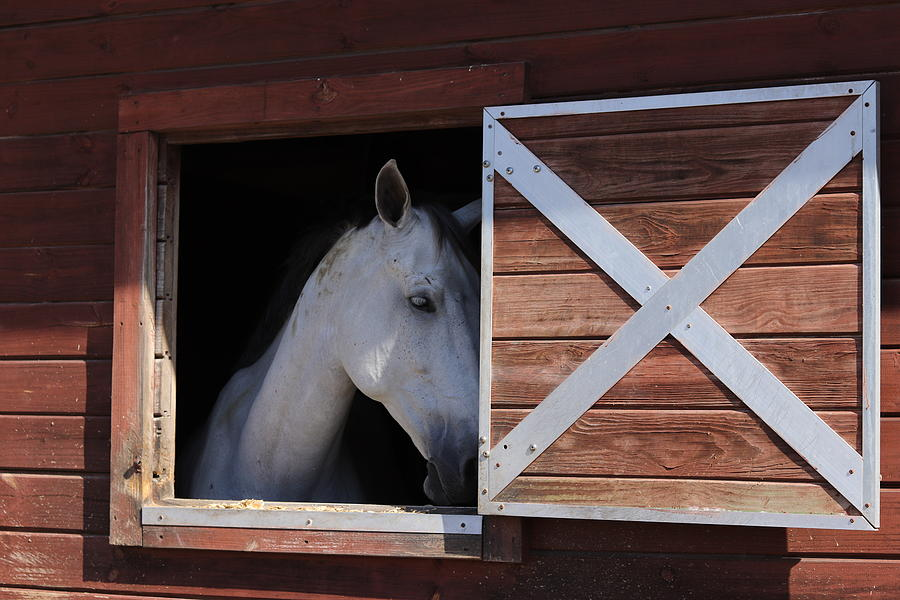 Shy White Horse by Blair Damson
