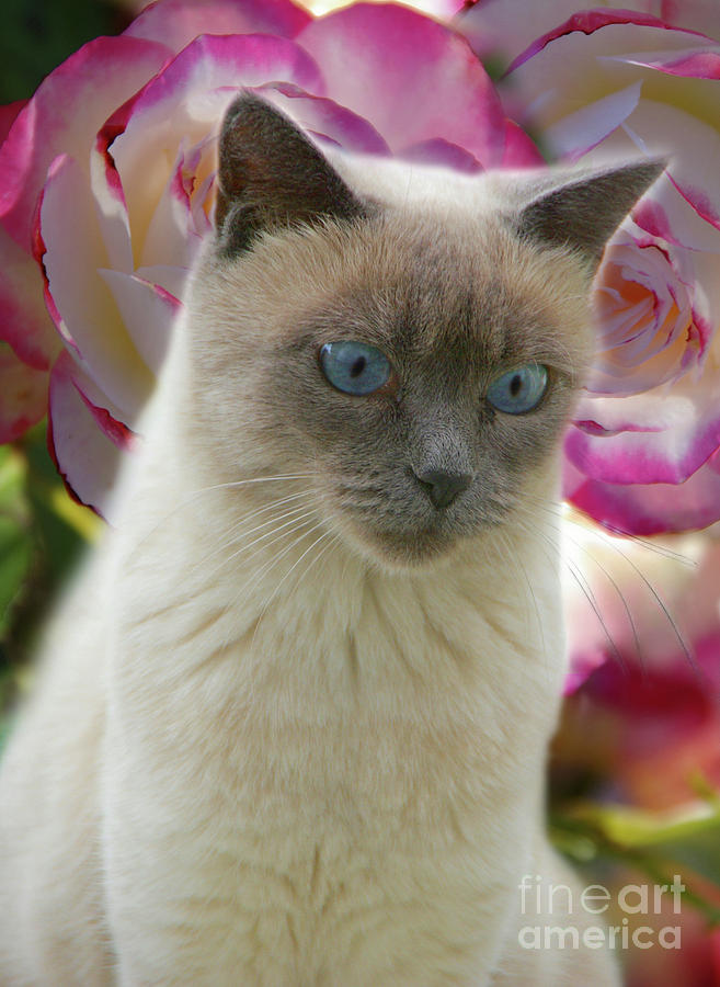 Siamese Cat With Blue Eyes Photograph