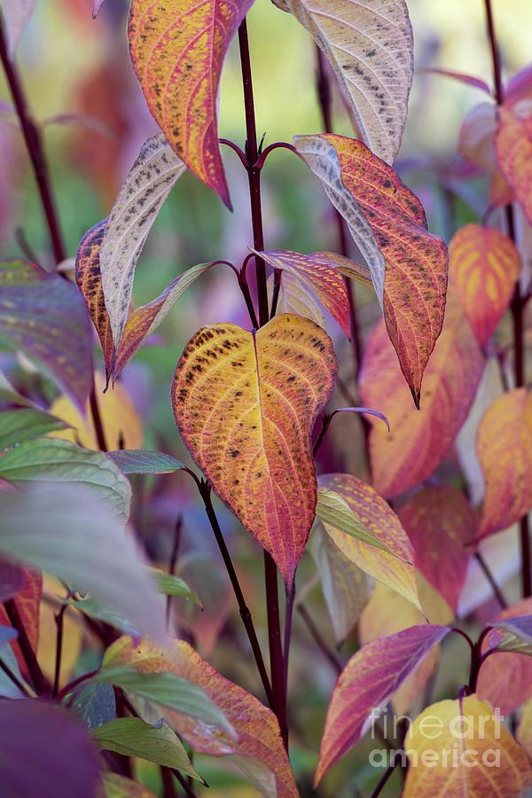 Siberian Dogwood in Autumn by Tim Gainey