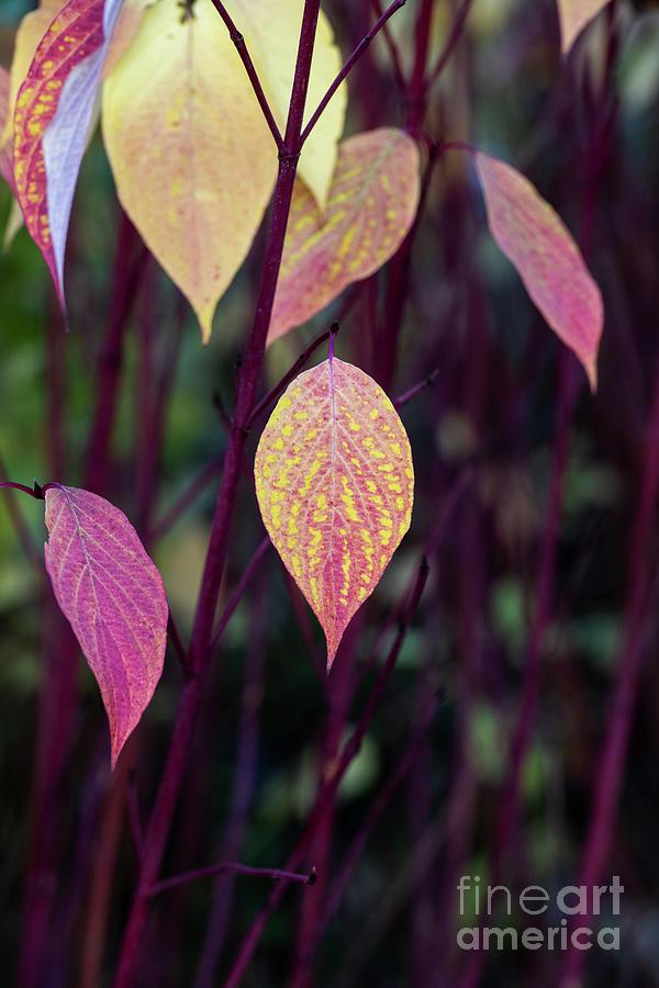 Cornus alba Sibirica Ruby in Autumn by Tim Gainey