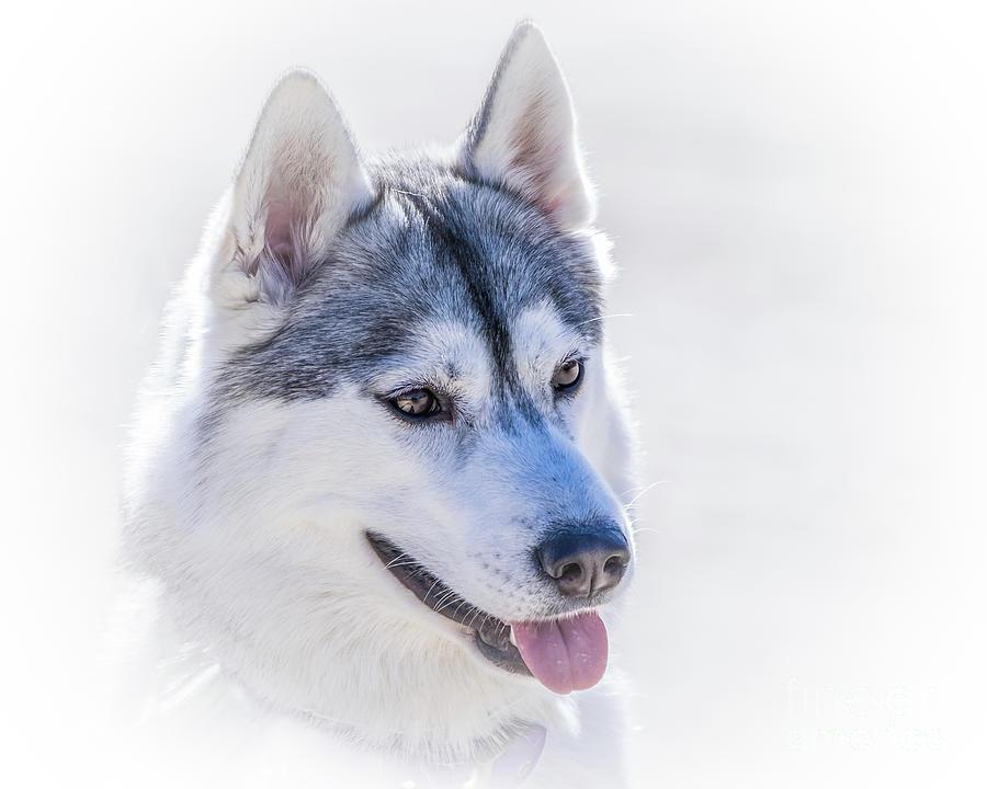 Siberian Husky Photograph - Siberian Husky Portrait by May Finch
