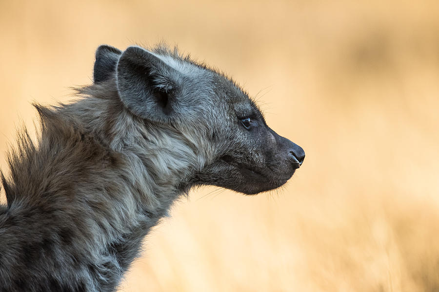 Side view of hyena, Kruger National Park, South Africa Photograph by Willie van Schalkwyk