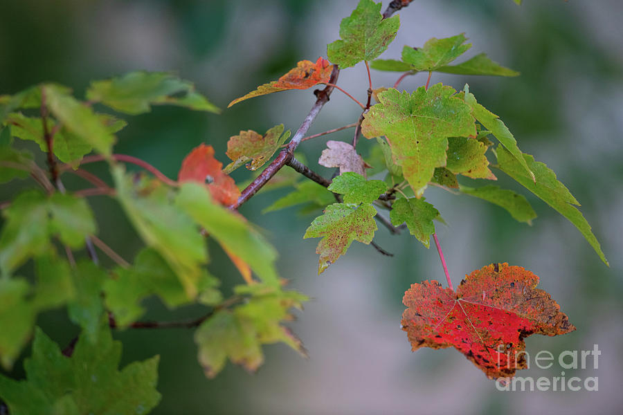 Signs Of Fall - Maple Tree Photograph