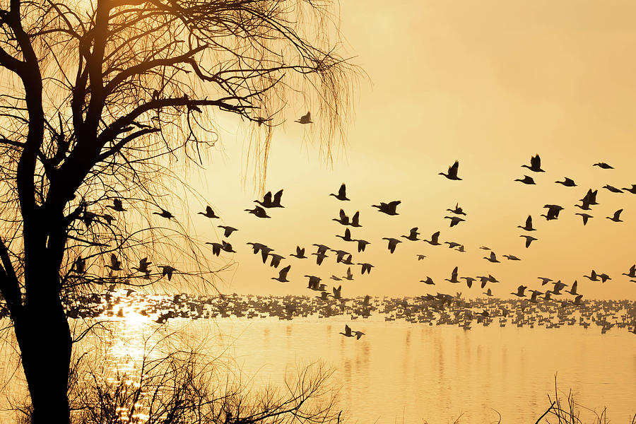 Silhouette Of Geese Over Lake At Sunrise Photograph