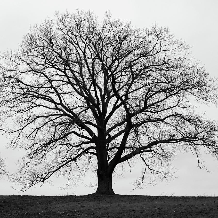 Silhouette of large tree in monochrome with grey winter skies by Richard Jemmett