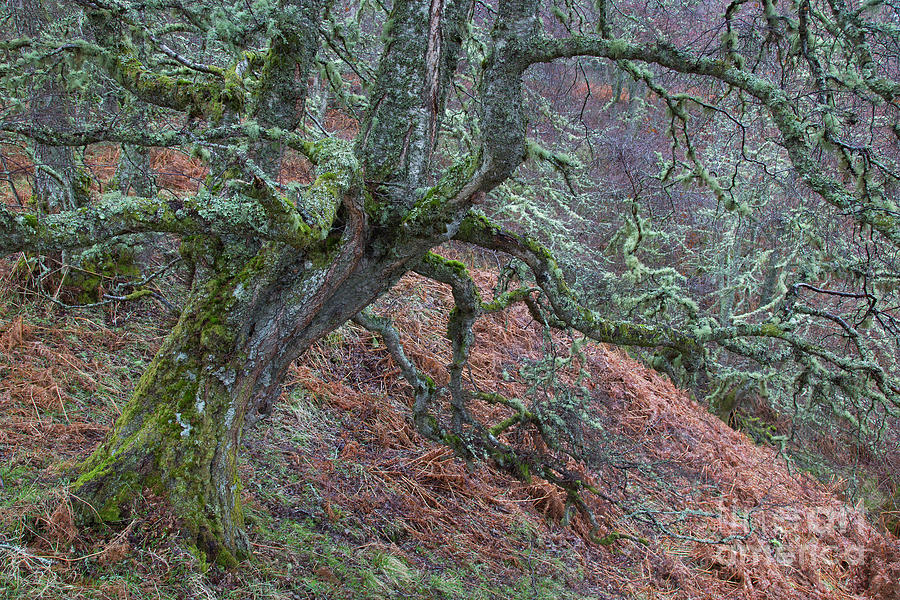 Silver Birch by Arterra Picture Library