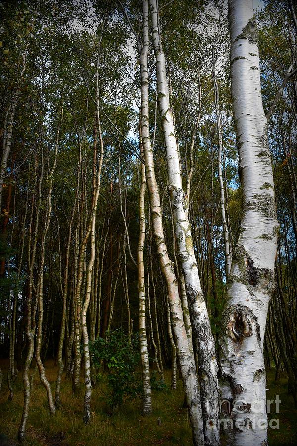 Silver Birch Trees by Yvonne Johnstone