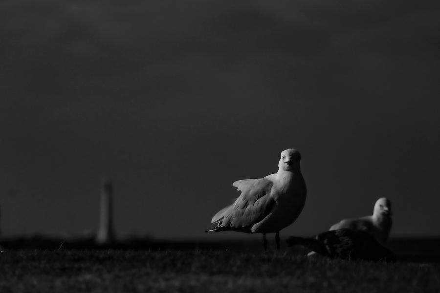 Monochrome Photograph - Silver Gulls by Leigh Henningham