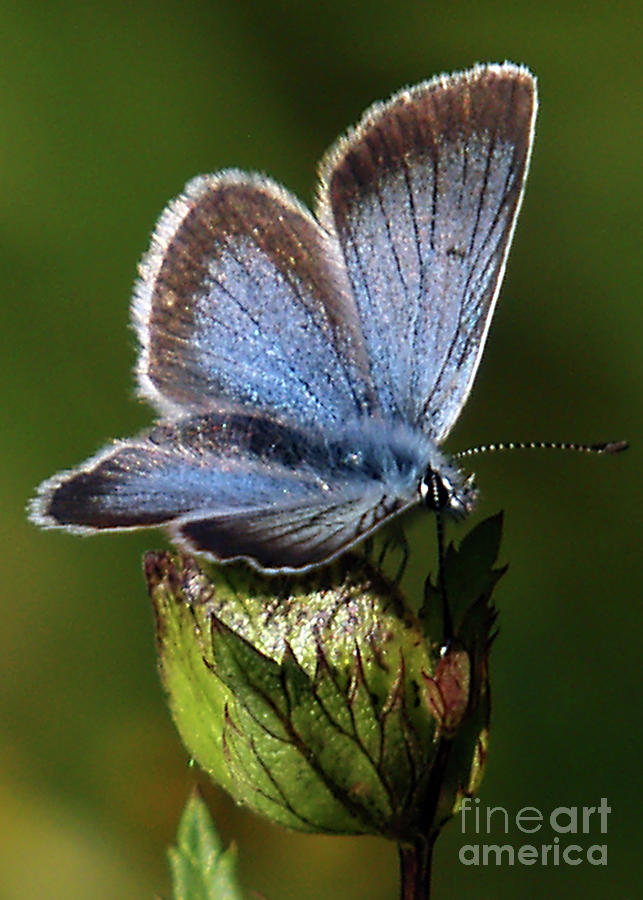 Silver-studded Blue Photograph