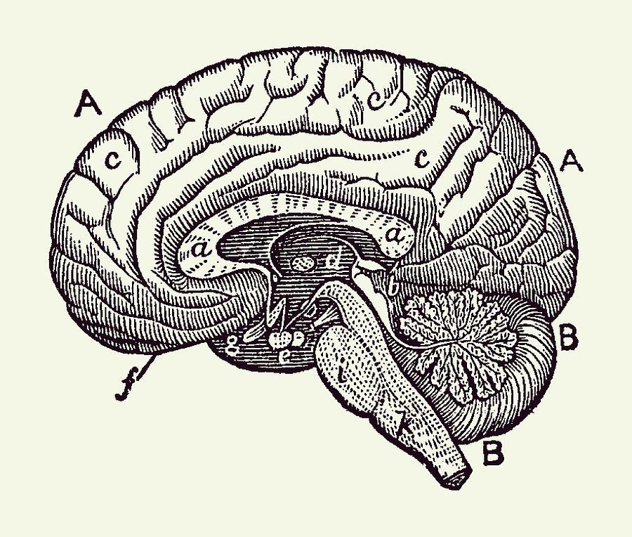 Simple Brain Diagram - Anatomy Poster 2 Drawing by Vintage ...