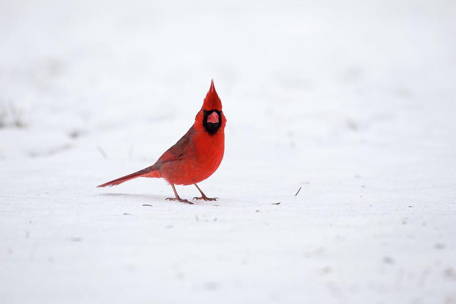 Simple Cardinal Photograph