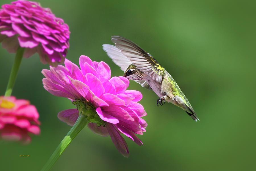 Simple Pleasure Hummingbird by Christina Rollo