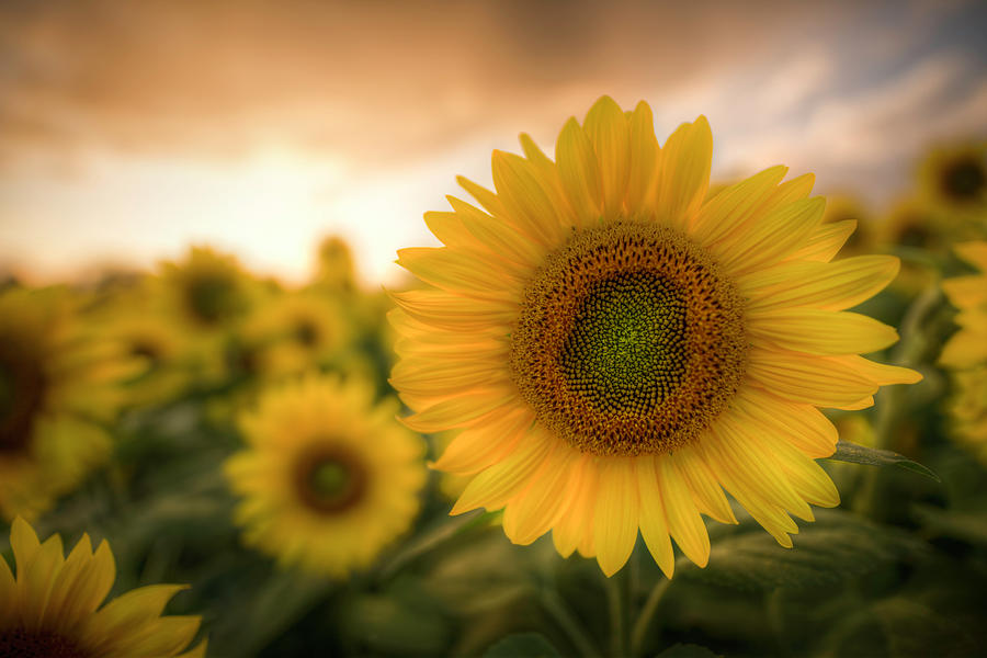Simply Sunflower by Thomas Gaitley