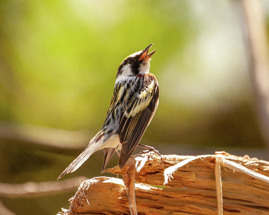Singing Chestnut-Sided Warbler by Lara Ellis