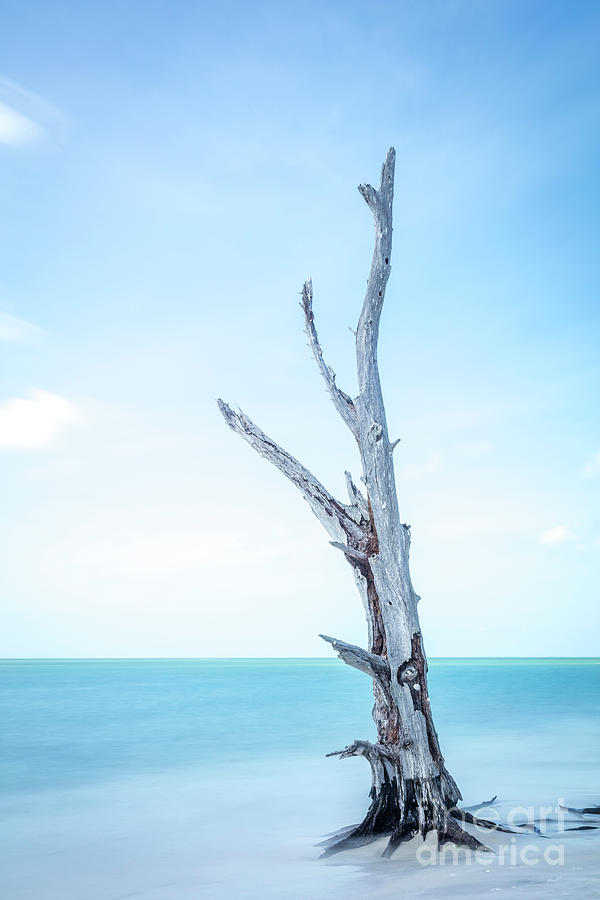 Single Old Tree At The Beach - Florida Photograph