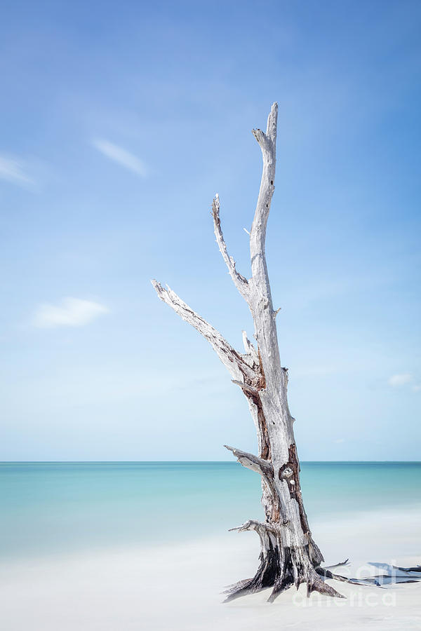 Single Old Tree At The Beach - Florida II Photograph