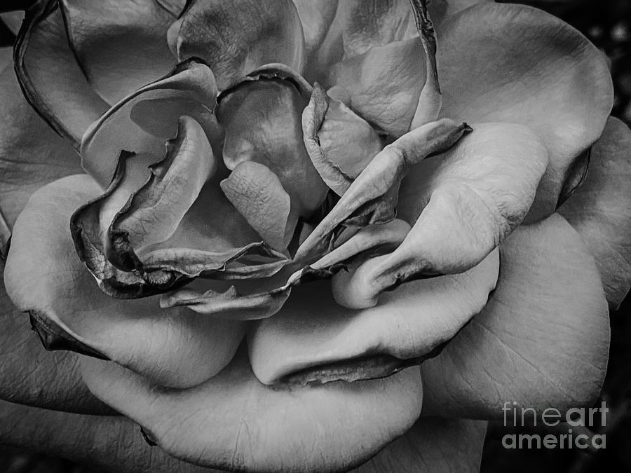 Single Rose Photograph