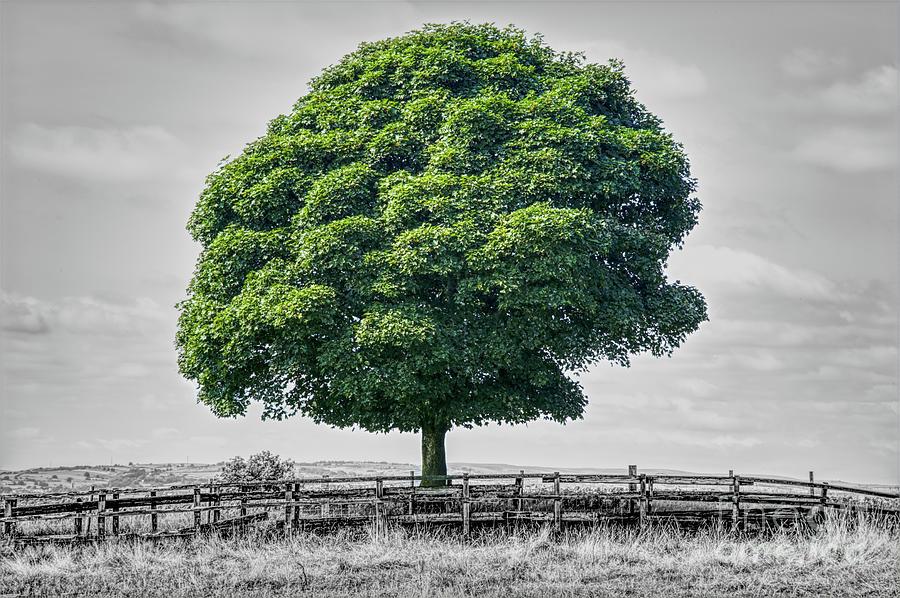 Single Tree Composite Photograph Photograph