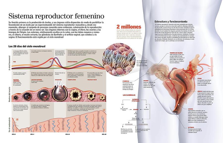 sistema reproductor femenino by Album