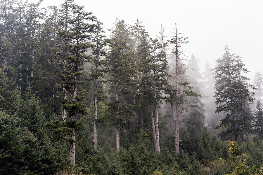 Sitka Spruce and Fog by Robert Potts