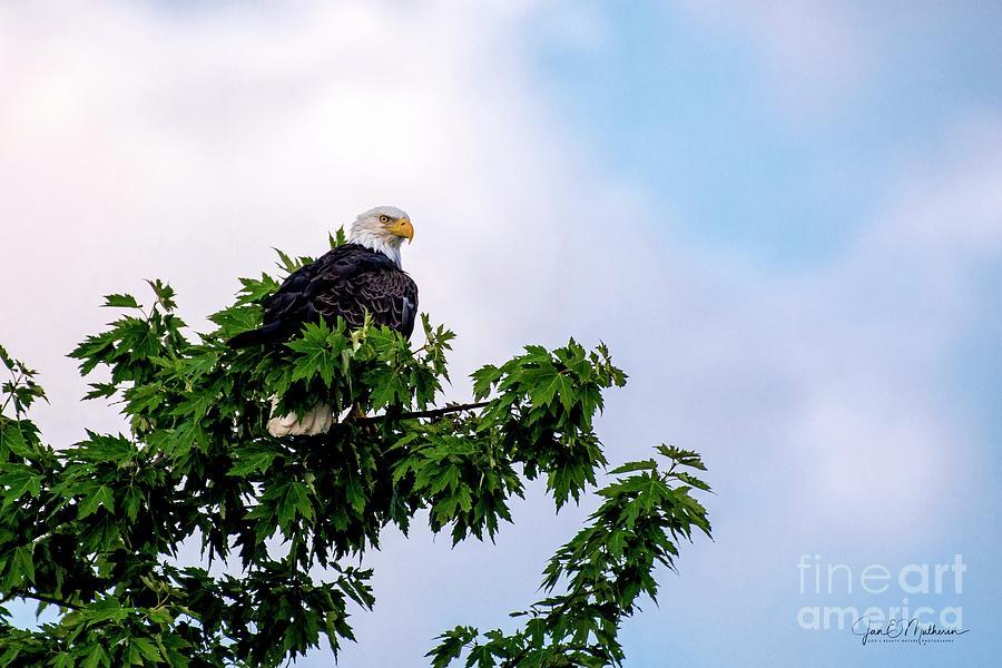 Sitting On High - Bald Eagle Photograph