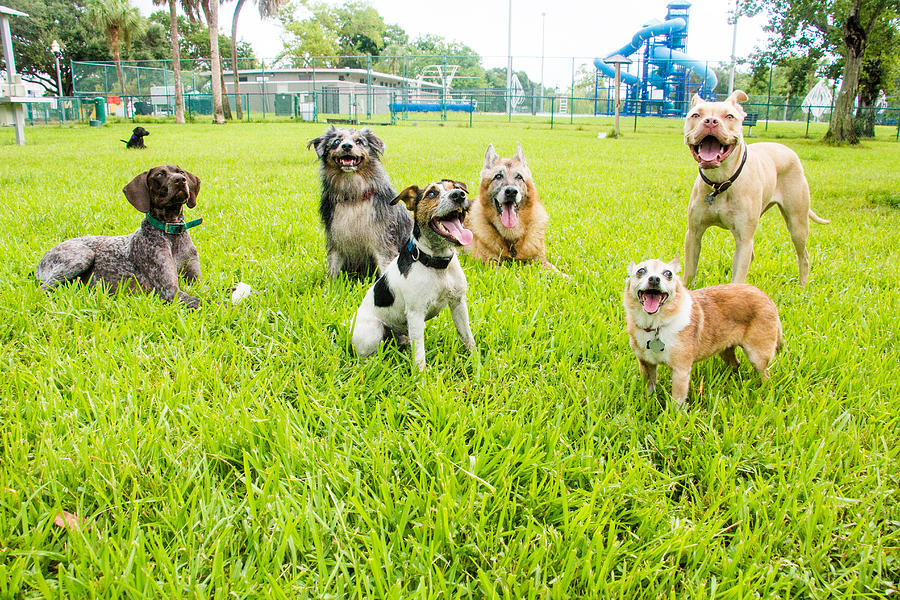 Six dogs in a dog park, United States Photograph by Meaghanbrowning