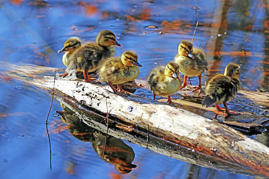 Six Little Ducklings Standing On A Log Photograph
