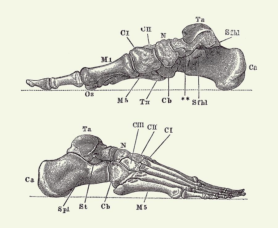 Skeletal Foot Diagram Dual View Anatomy Print 2 Drawing By Vintage Anatomy Prints