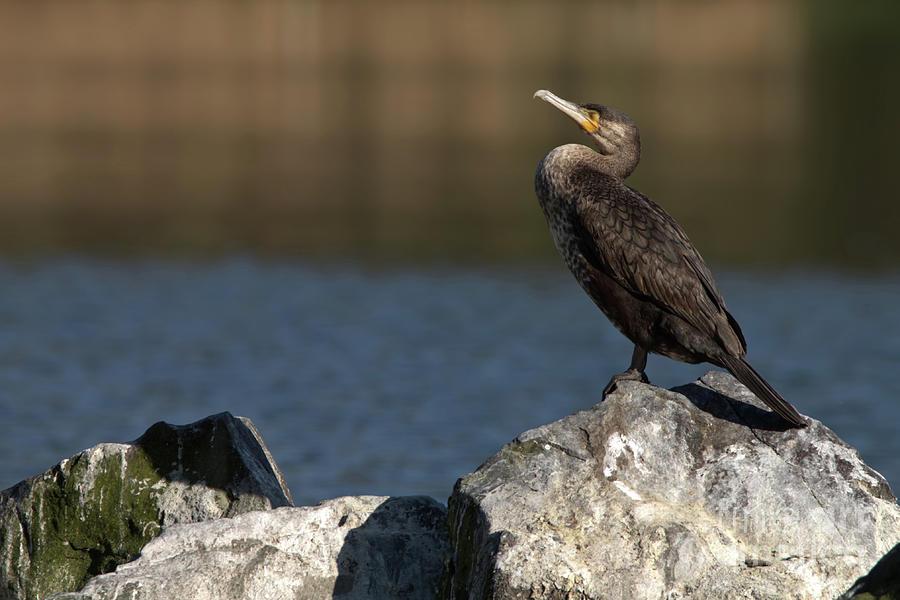 Sleeping Cormorant On Rocks Photograph