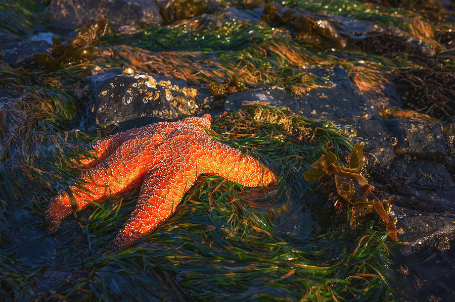 Sleepy Starfish Photograph