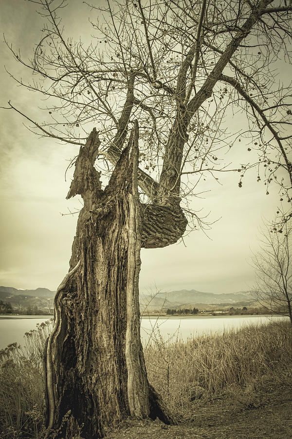 Slice Of Old Cottonwood Tree by James BO Insogna
