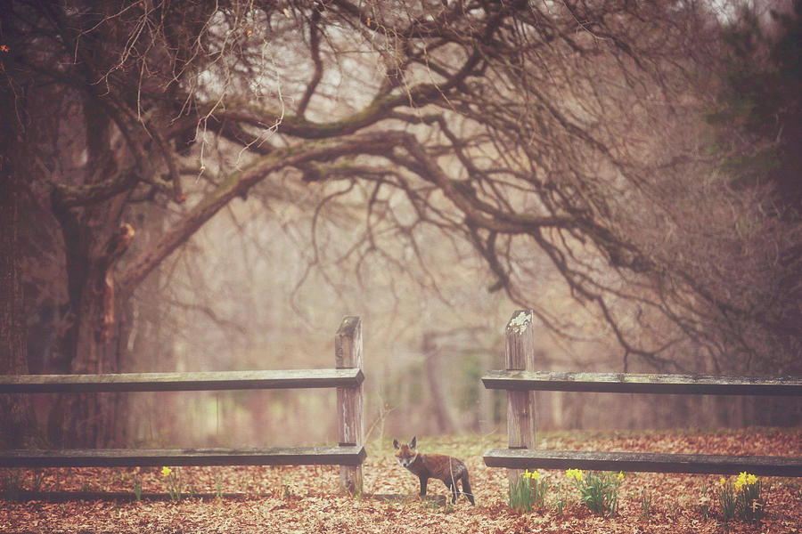 Fox Photograph - Sly Guy by Carrie Ann Grippo-Pike