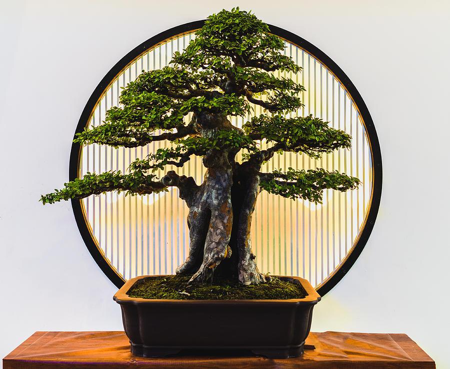 Small green bonsai tree Photograph by Liyao Xie