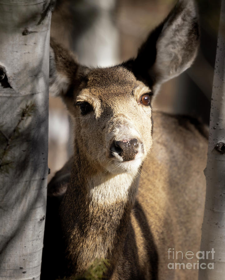 Small Herd Of Mule Deer Photograph