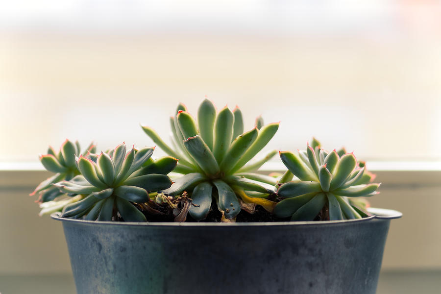 Still Life Photograph - Small Succulent Plants by Window by Jussi Laasonen