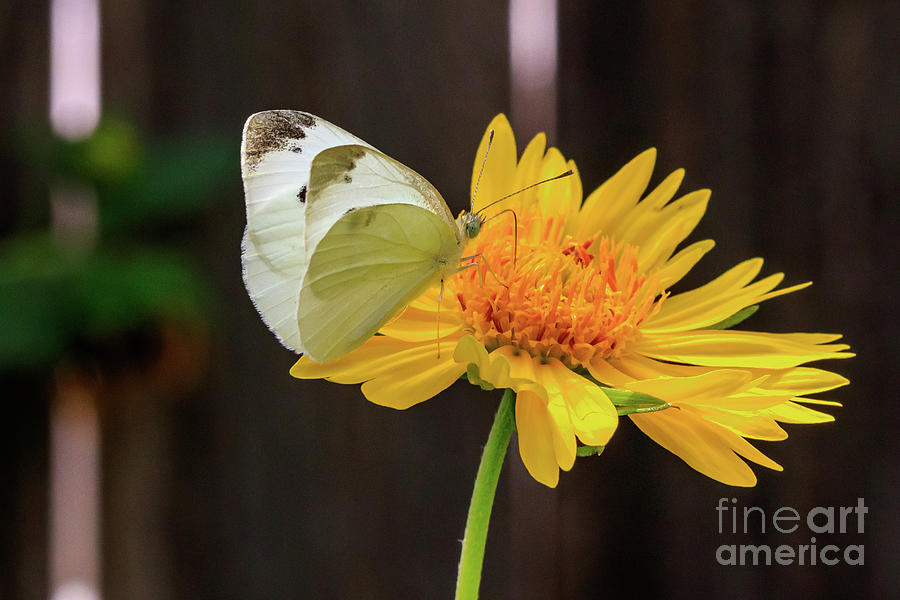 Small White Butterfly Perched On A Yellow Flower. Photograph
