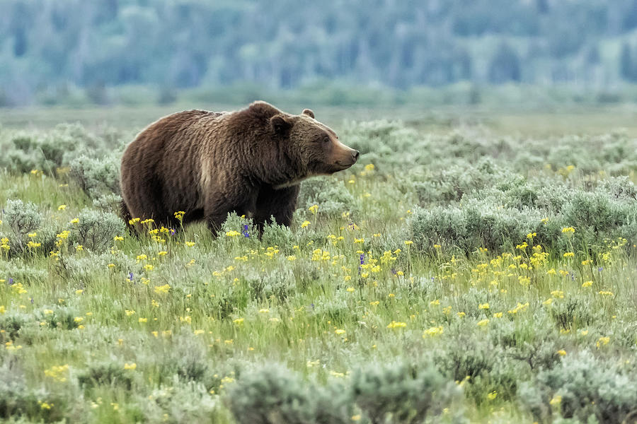 Smiling Grizzly #399 Photograph