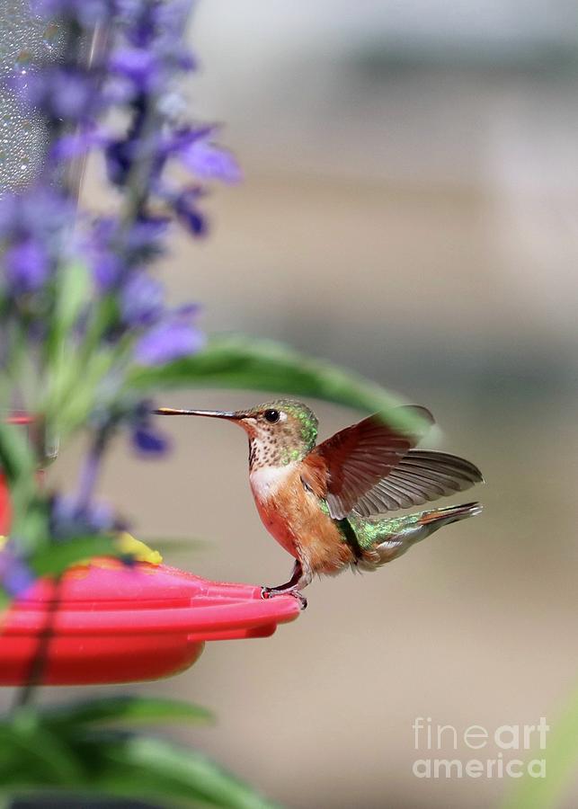 Smooth Landing Hummingbird 2 Photograph