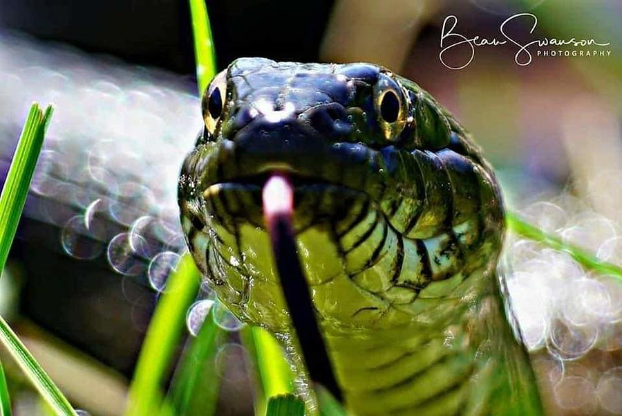 Snake In The Grass Photograph By Beau Swanson